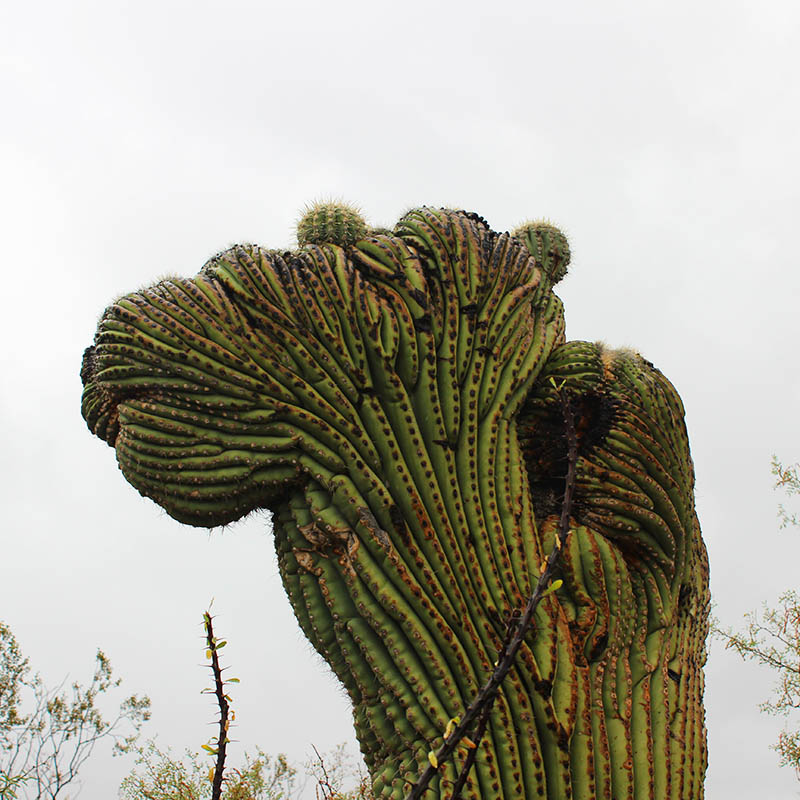 Camel Saguaro taken by Southwest Discovered