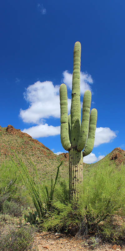 The Stuntman Saguaro taken by Southwest Discovered