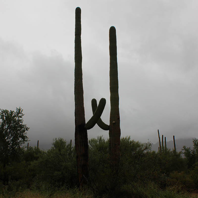 High Five Saguaros taken by Southwest Discovered