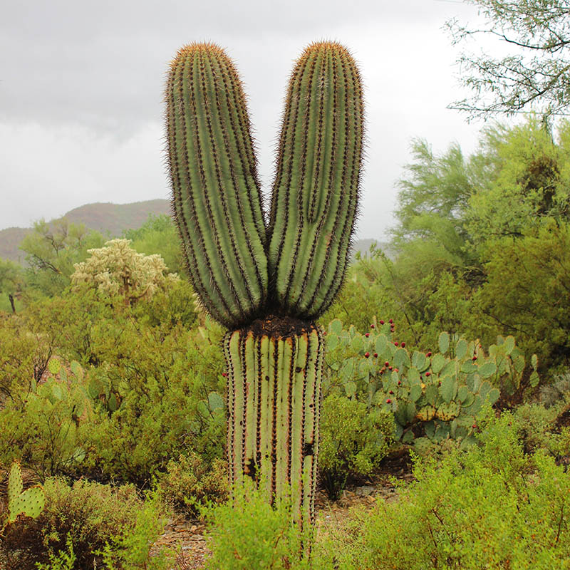 Hippie Peace Sign Cactus Saguaro taken by Southwest Discovered