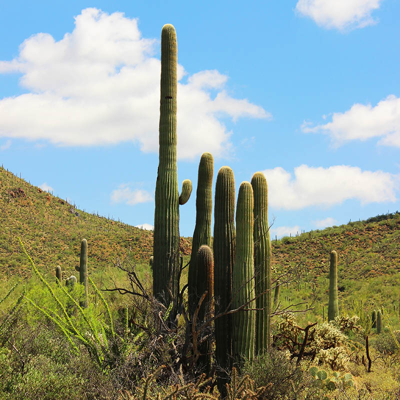 The Storyteller Saguaro taken by Southwest Discovered